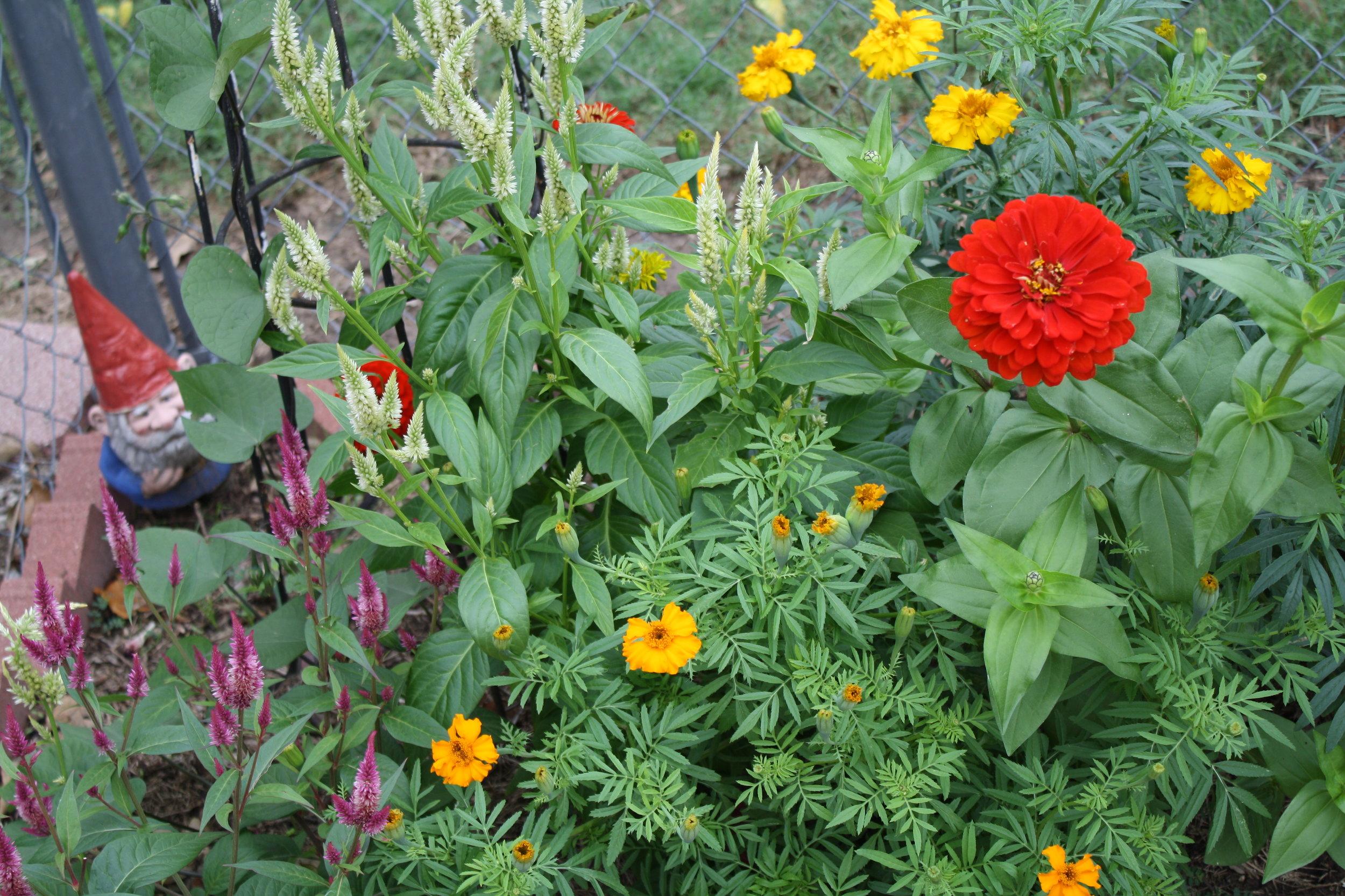 Zinnias, marigold, and our garden gnome