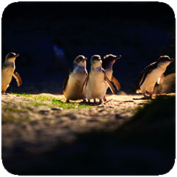Tour 334 Penguin Parade Penguins 2.png