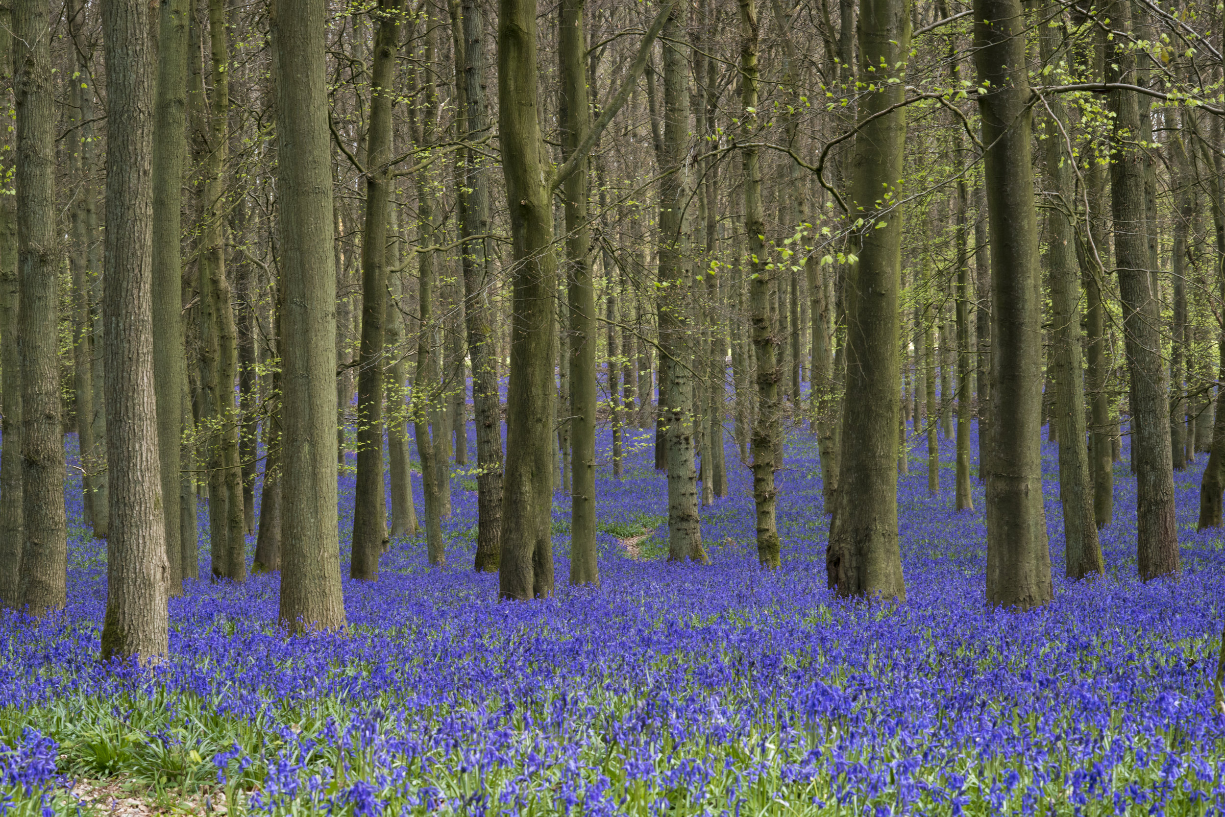 Springtime bluebells, Herts, UK