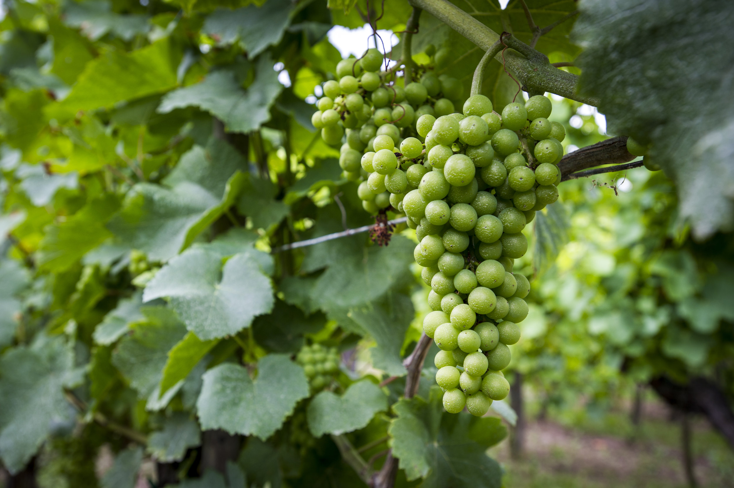 Alsace, Gewurtztraminer grapes