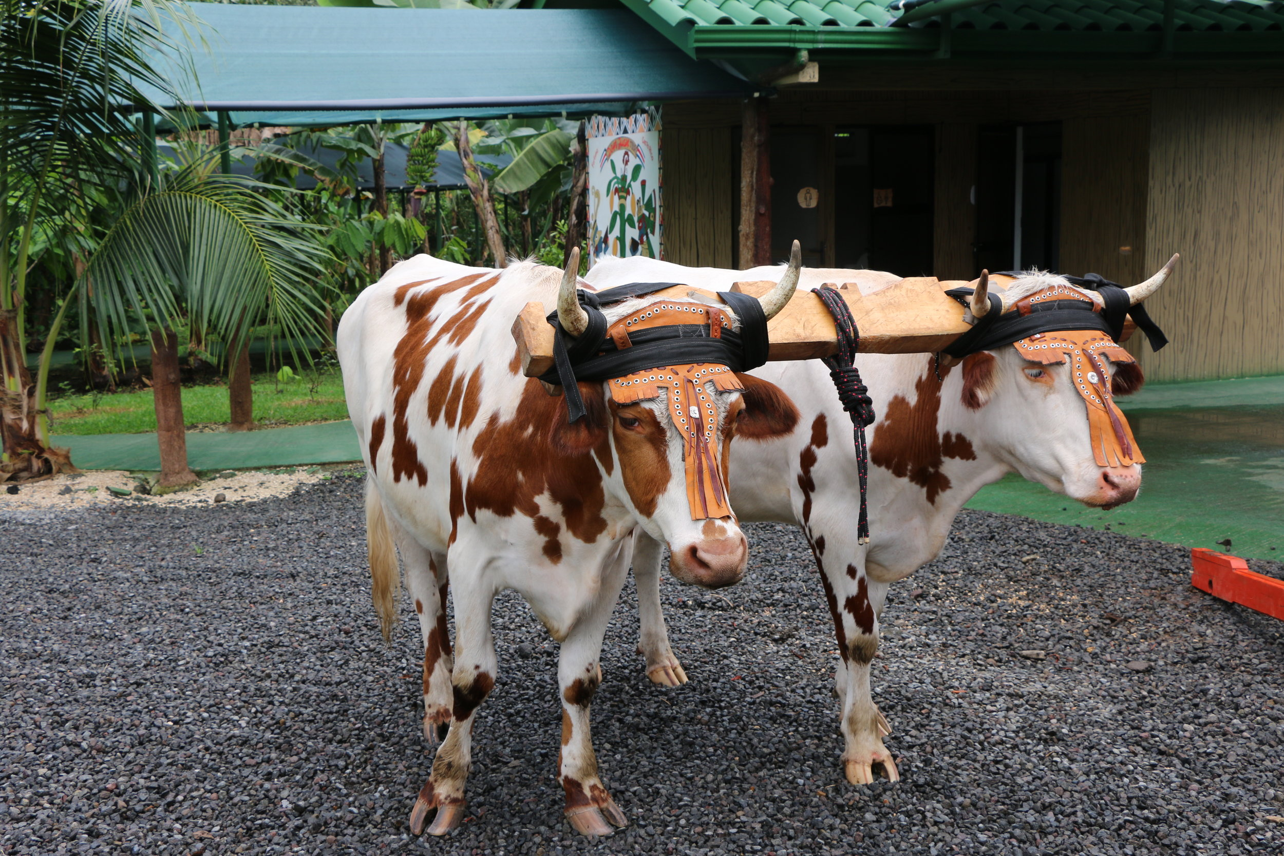 Here are the oxen living their best life. Their names are Gallo & Pinto, which also happens to be our new favorite breakfast dish (rice & beans), paired with some warm cacao drink or coffee.