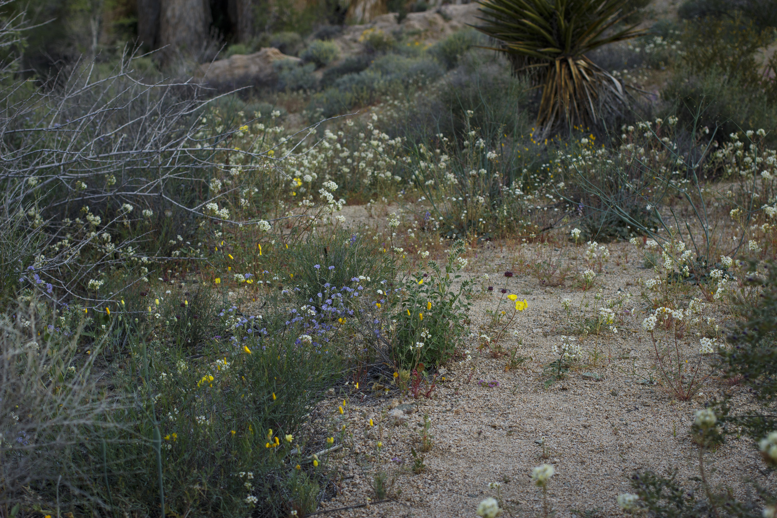 joshua-tree-superbloom_89.jpg