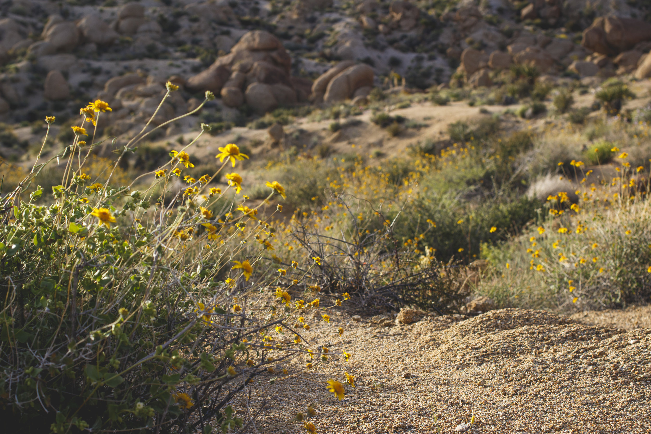 joshua-tree-superbloom_87.jpg