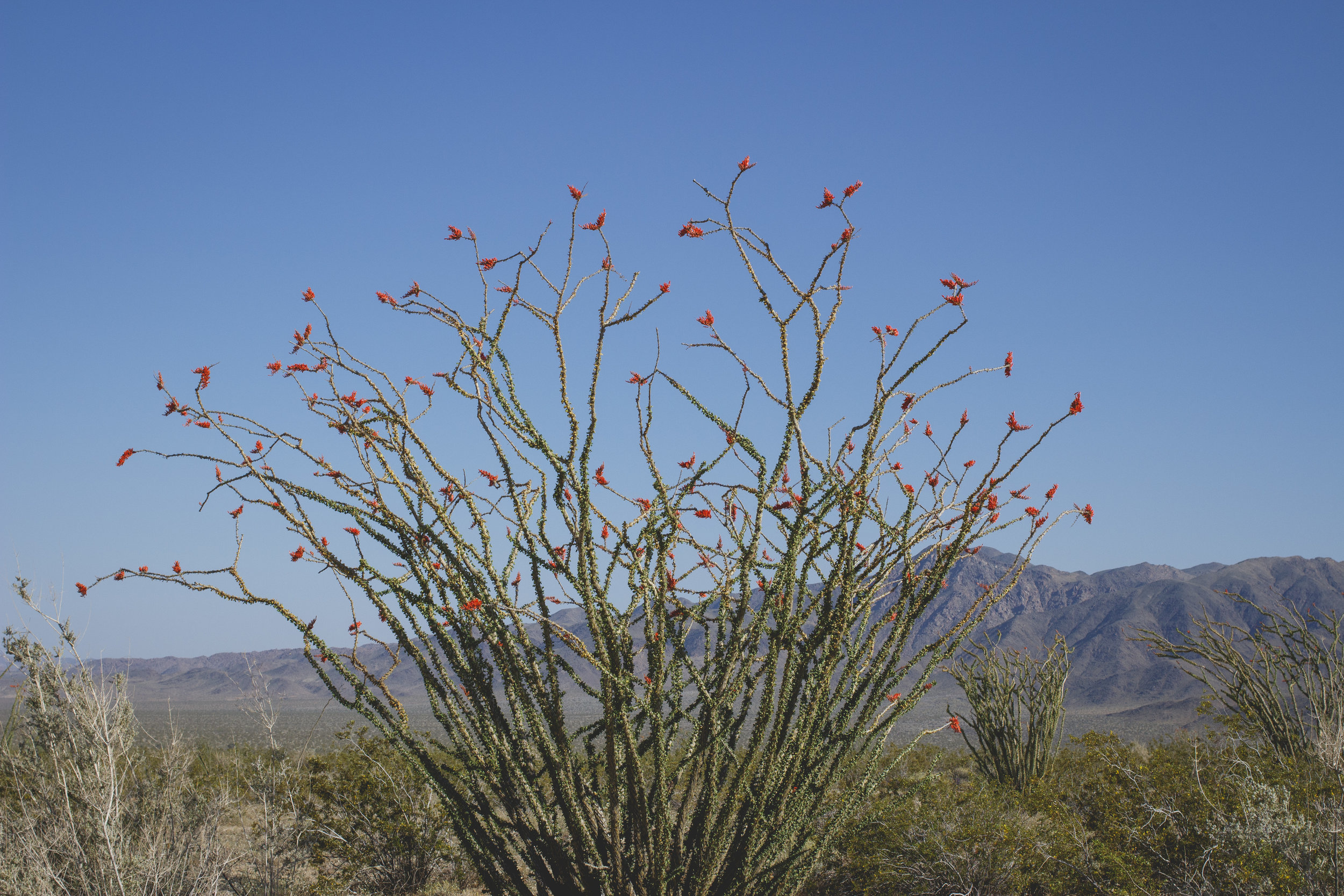 joshua-tree-superbloom_139.jpg