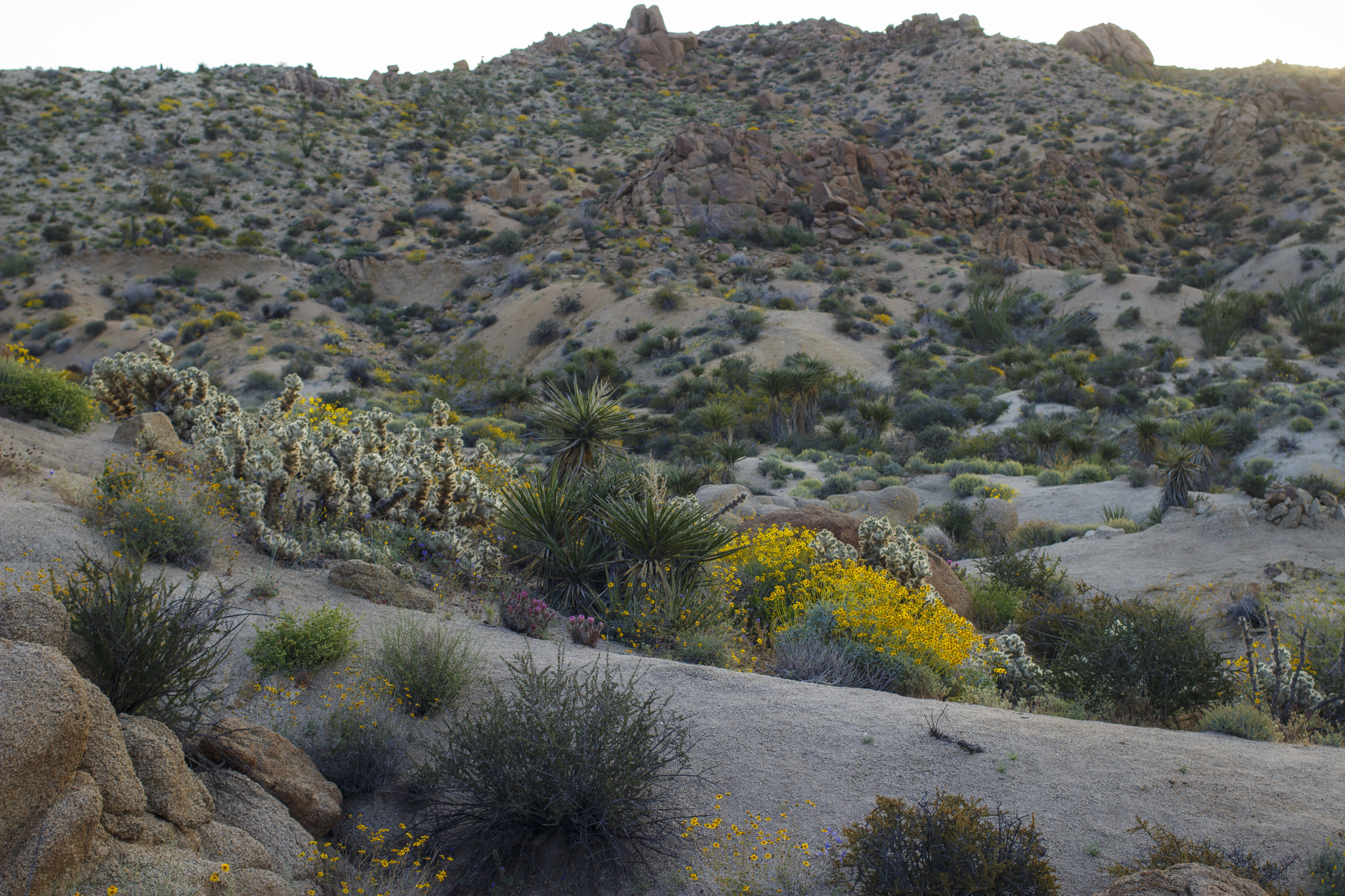 joshua-tree-superbloom_167.jpg