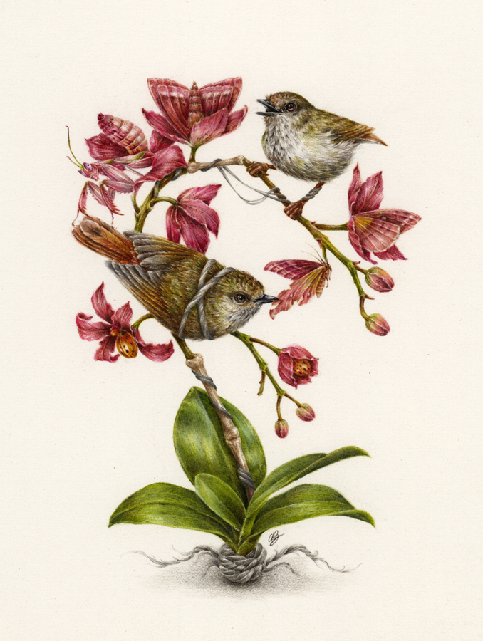 Brown Thornbills