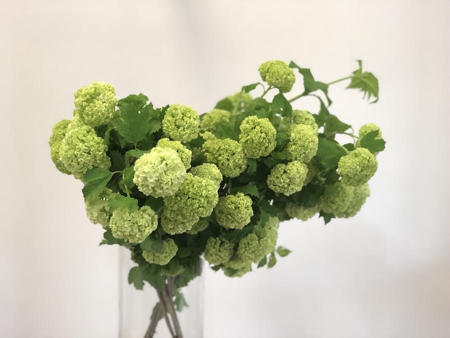 fresh spring guelder rose en masse in large glass vase, stunning for dressing a living room