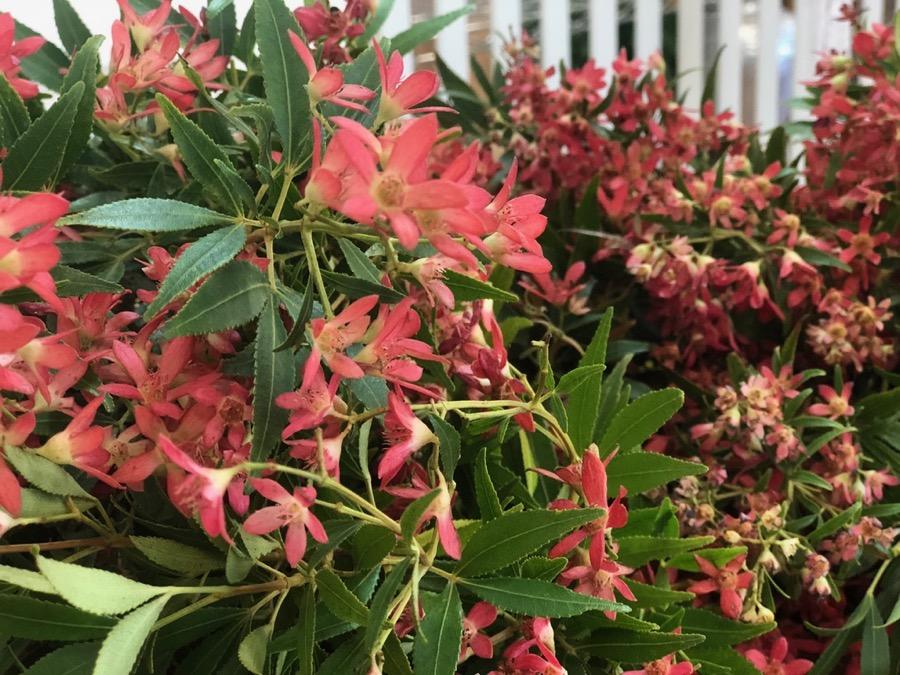Christmas bush at Beija Flors Coconut Grove florist studio in Darwin