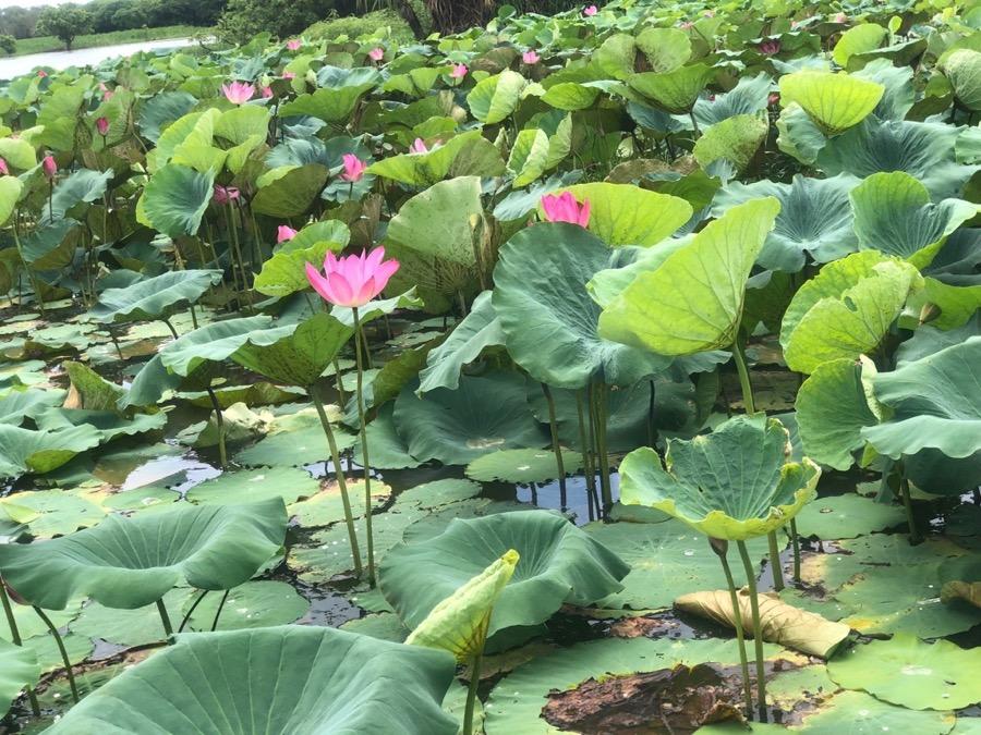 Flowering lotus at Yellow Waters, Kakadu National Park