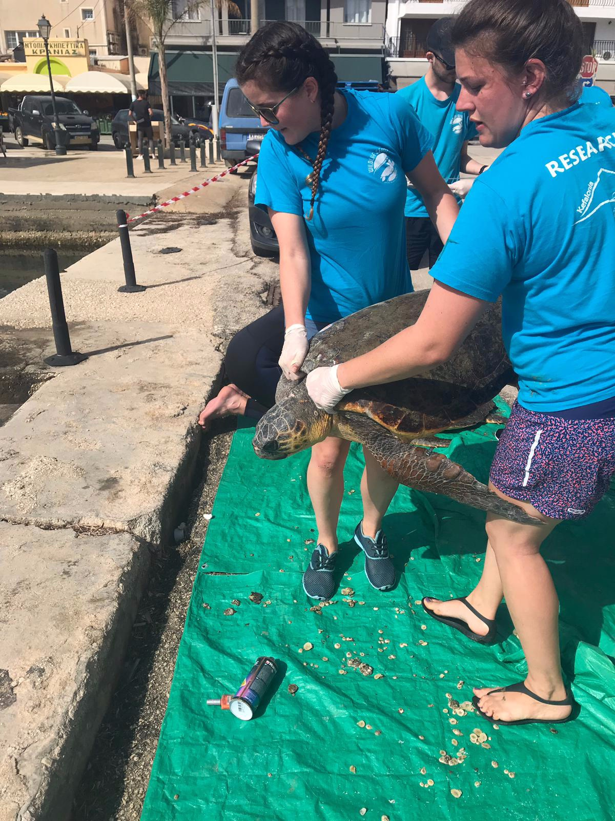 Caring for turtles involves heavy physical work…