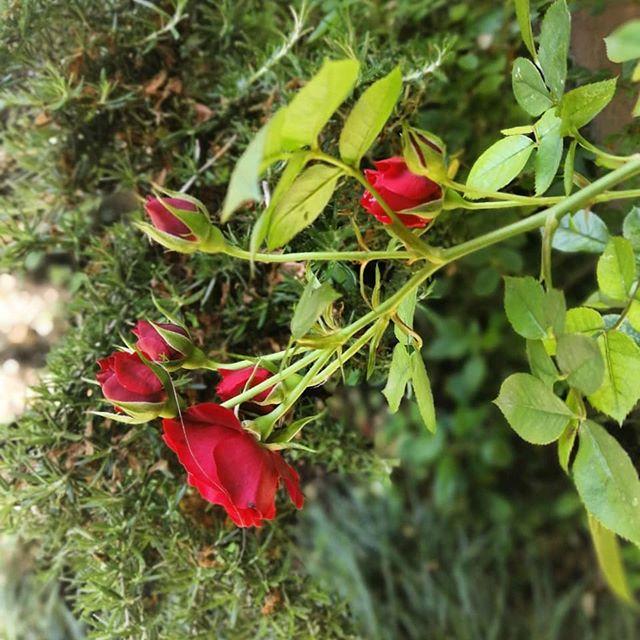 Rosa rosae rosae... 🥀 . . #bruttotempo #bedandbreakfast #allefronde #cremona #mantova #brescia #spring #nature #naturelovers #naturephotography #portrait #hospitality #gardalake #gardens #gardenlovers #gardening #flowers #flowerstagram