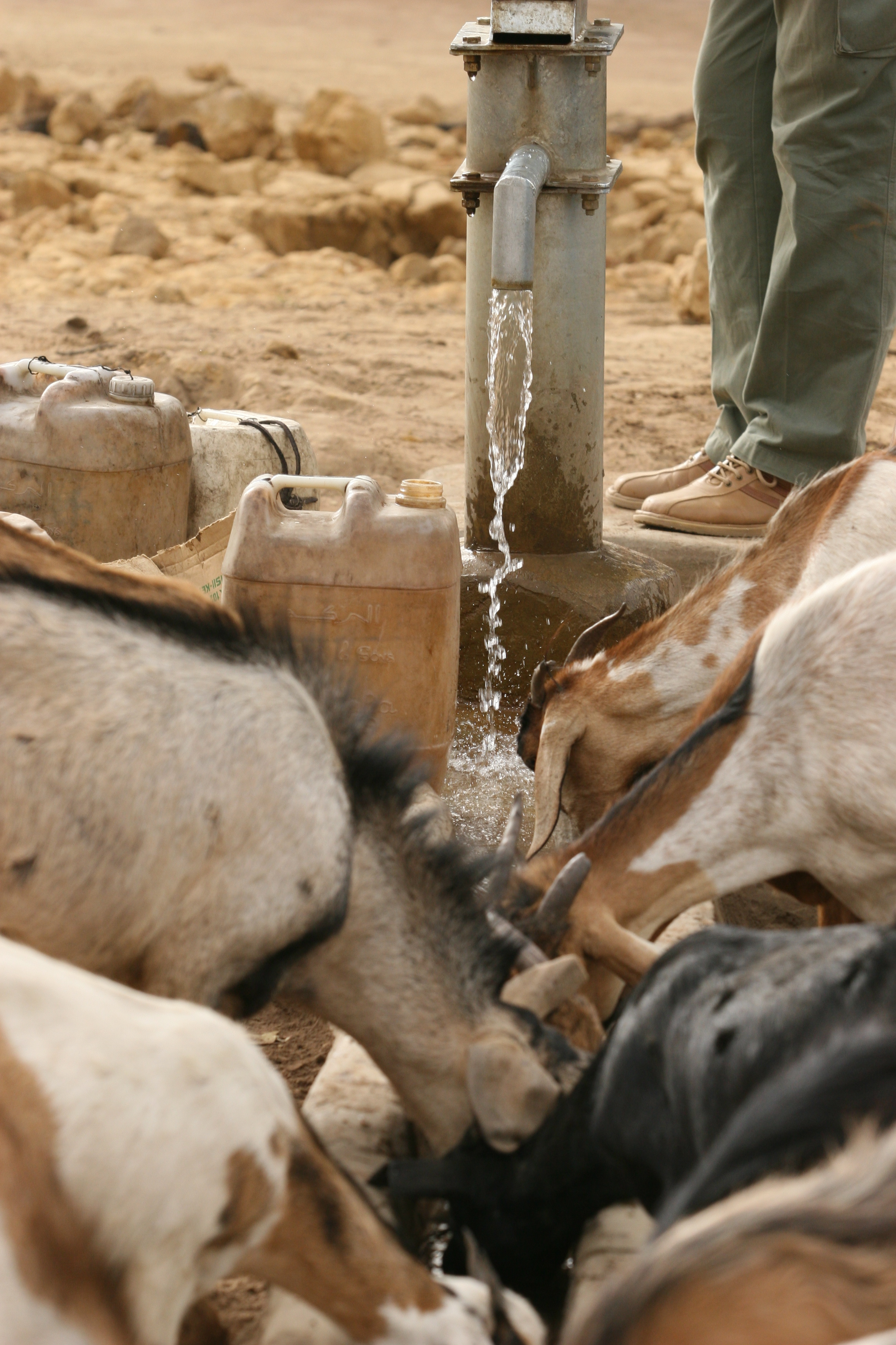 Animals also benefit from boreholes.JPG