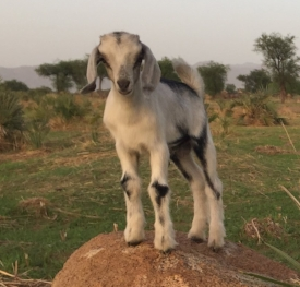 Healthy goats, cattle, and poultry are essential for food security in the Nuba.