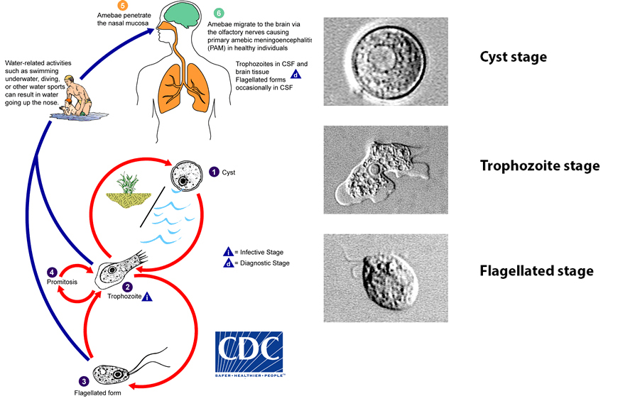 This diagram created by the CDC shows the different life stages of  Naegleria fowleri .