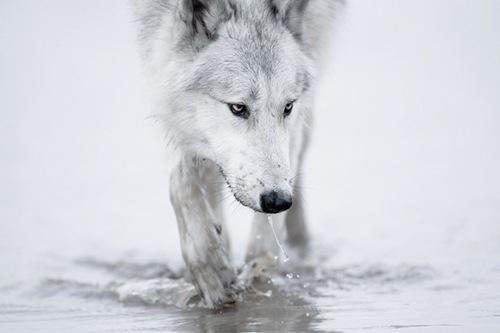whitewolfmiddle.jpg
