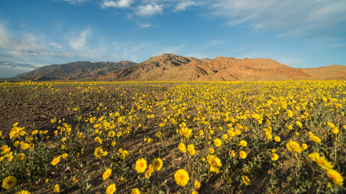 Death Valley Is Experiencing a Colorful 'Superbloom'
