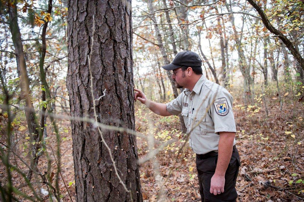 Long Island Confronts Destructive Southern Pine Beetles