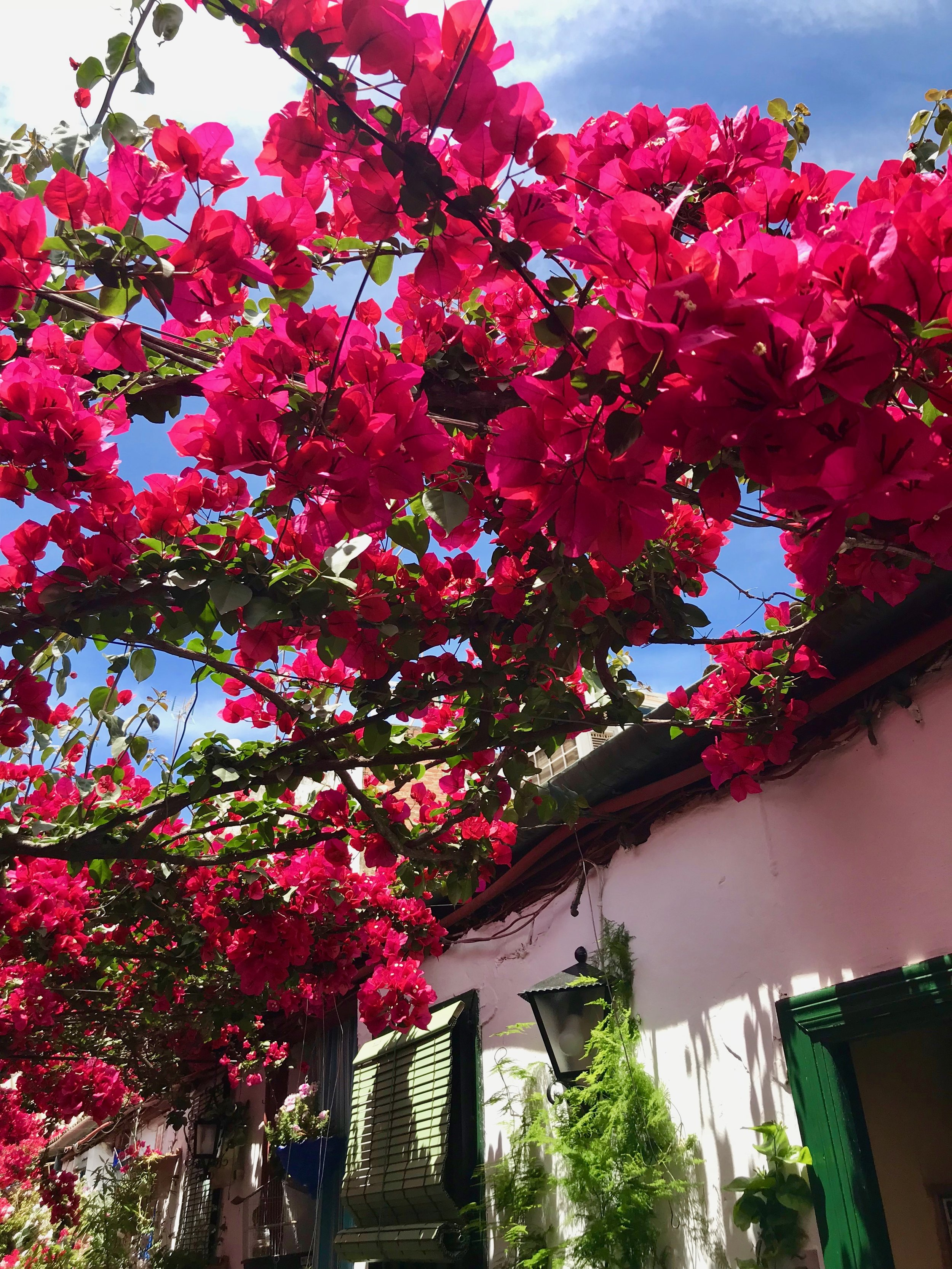 The bougainvillea canopy in one of the patios of the Santa Marina neighborhood.