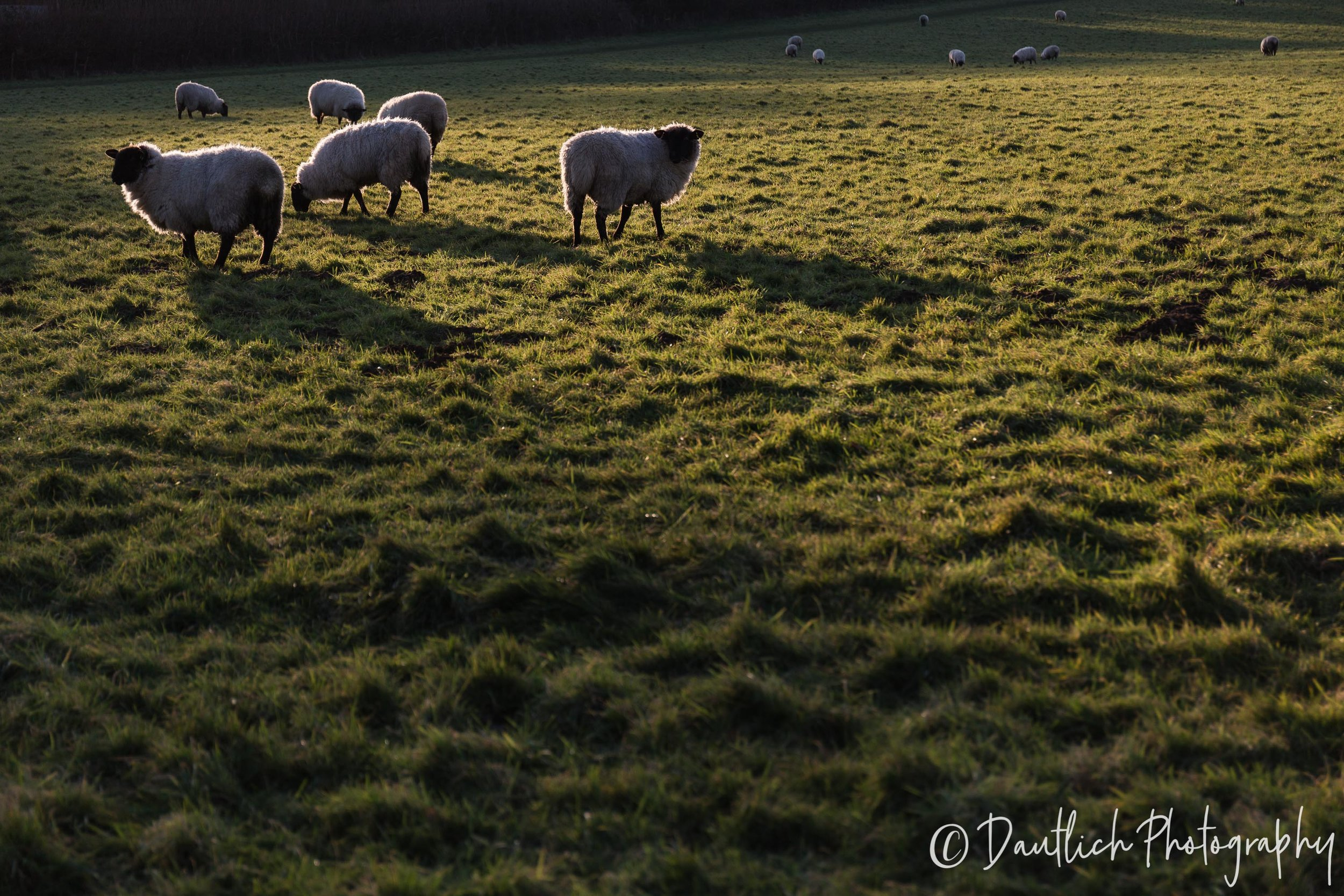 Sheep in the field during golden hour.