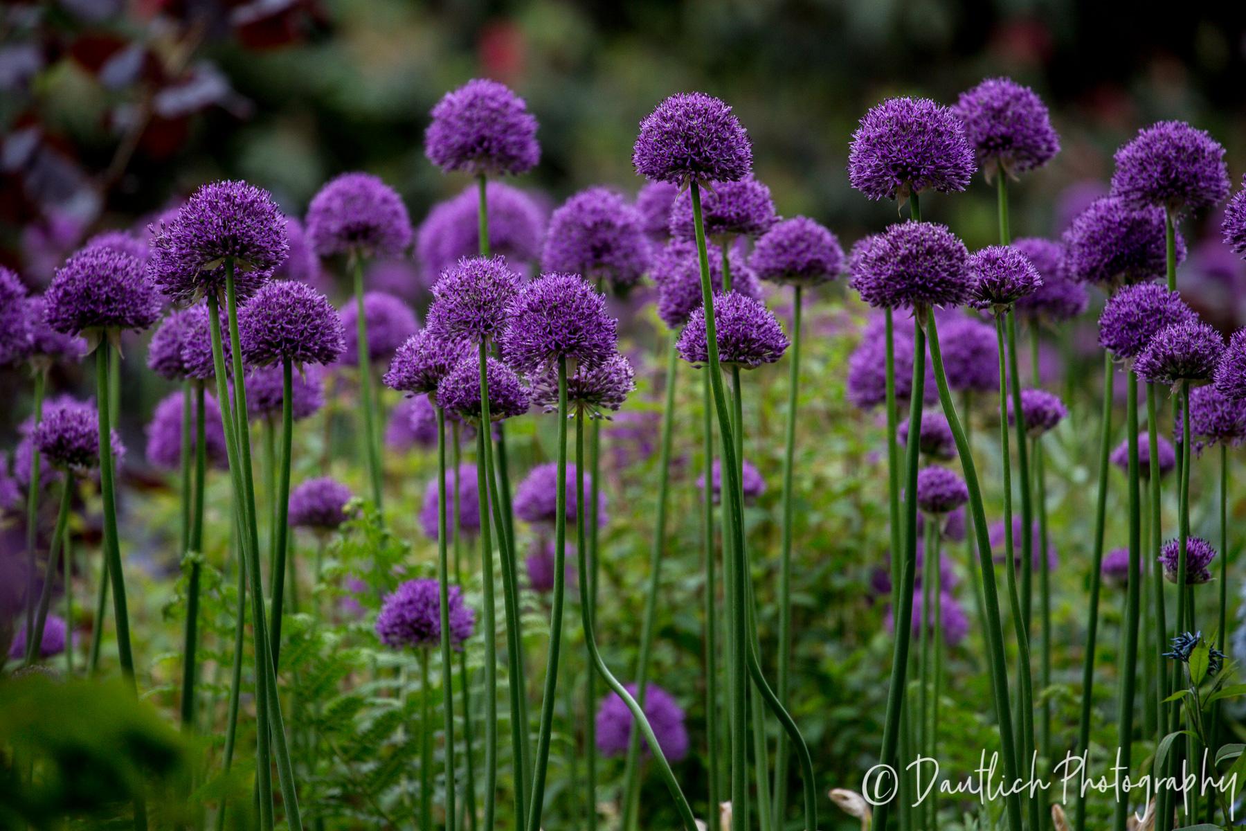 05.16.18 Nymans purple ball flowers.jpg