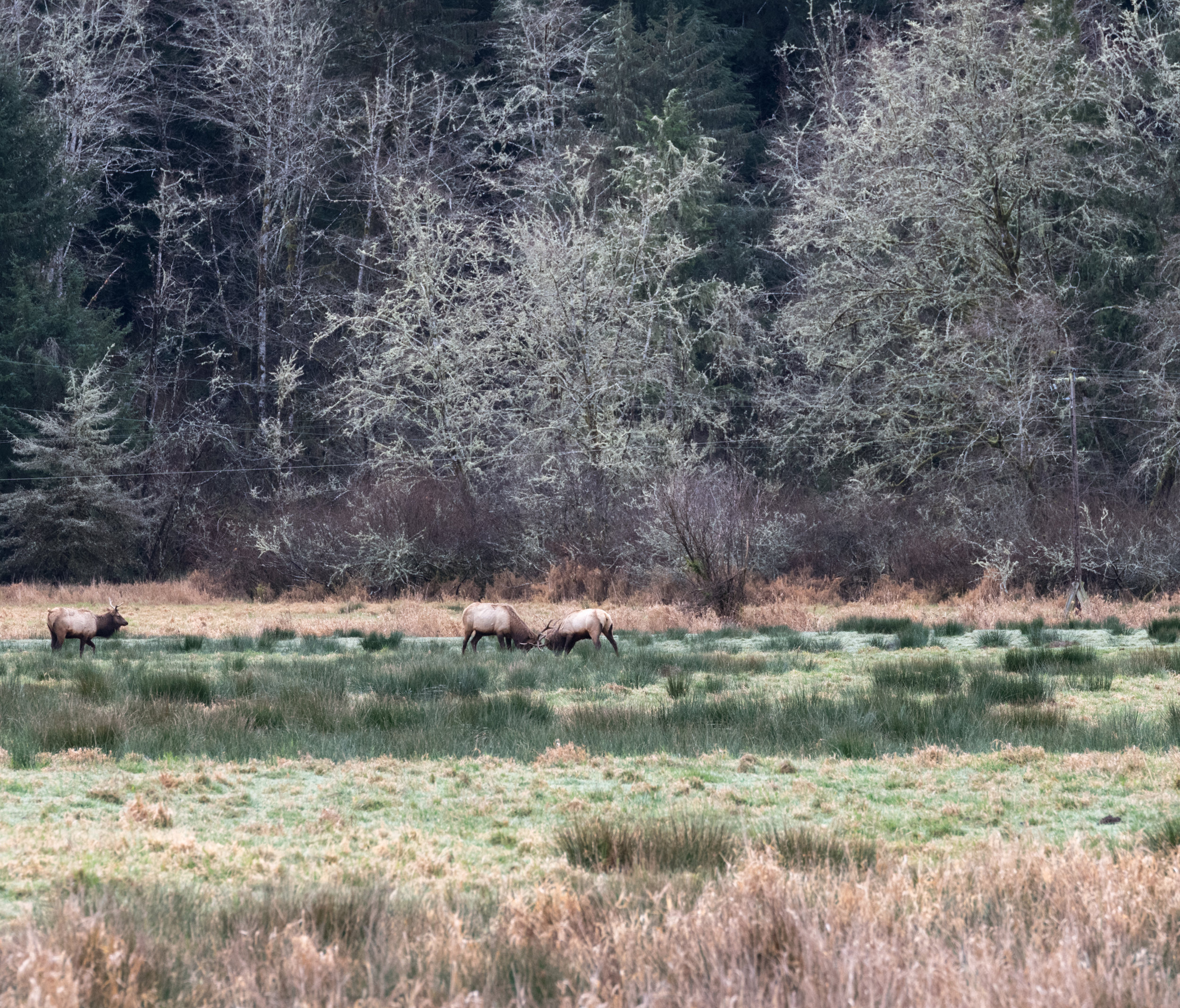 2 Roosevelt Bull Elk sparring out in the viewing area.
