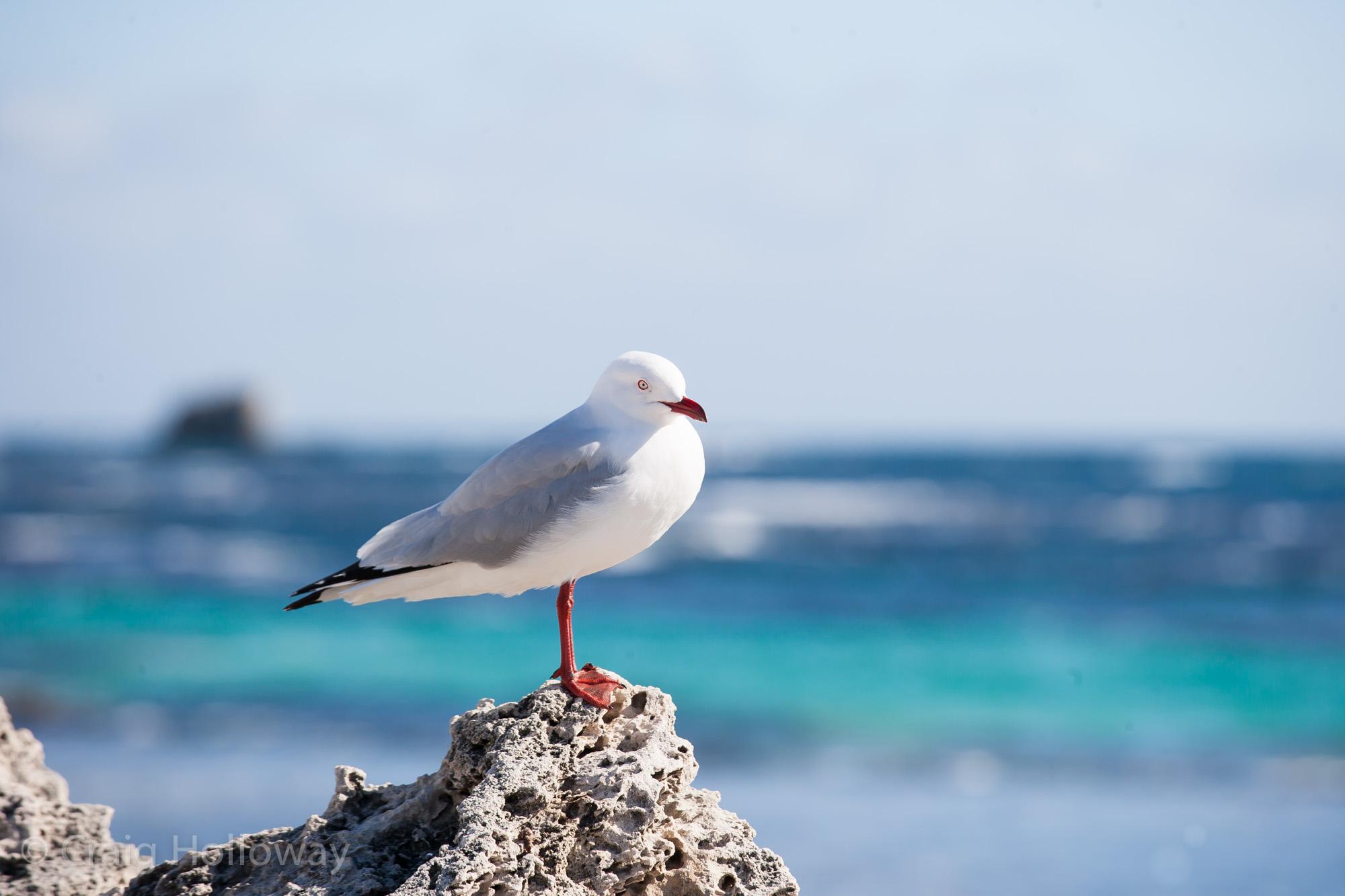 Seagull 02.jpg