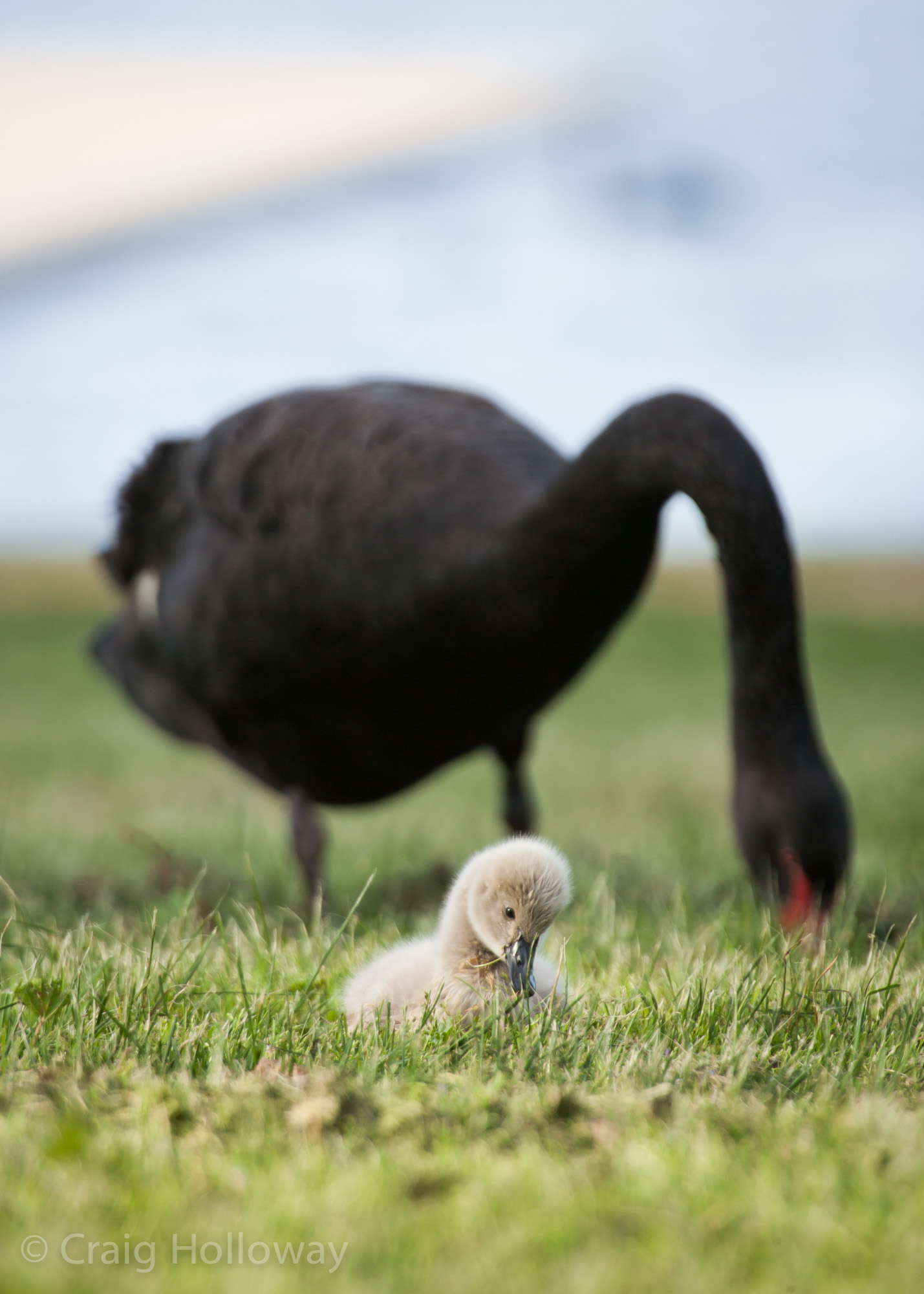 Swans at Lake Wendouree 15.jpg
