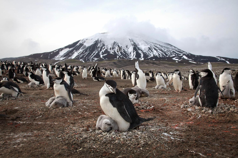 Chinstrap Penguins | Image credit: BBC NHU/Elizabeth White