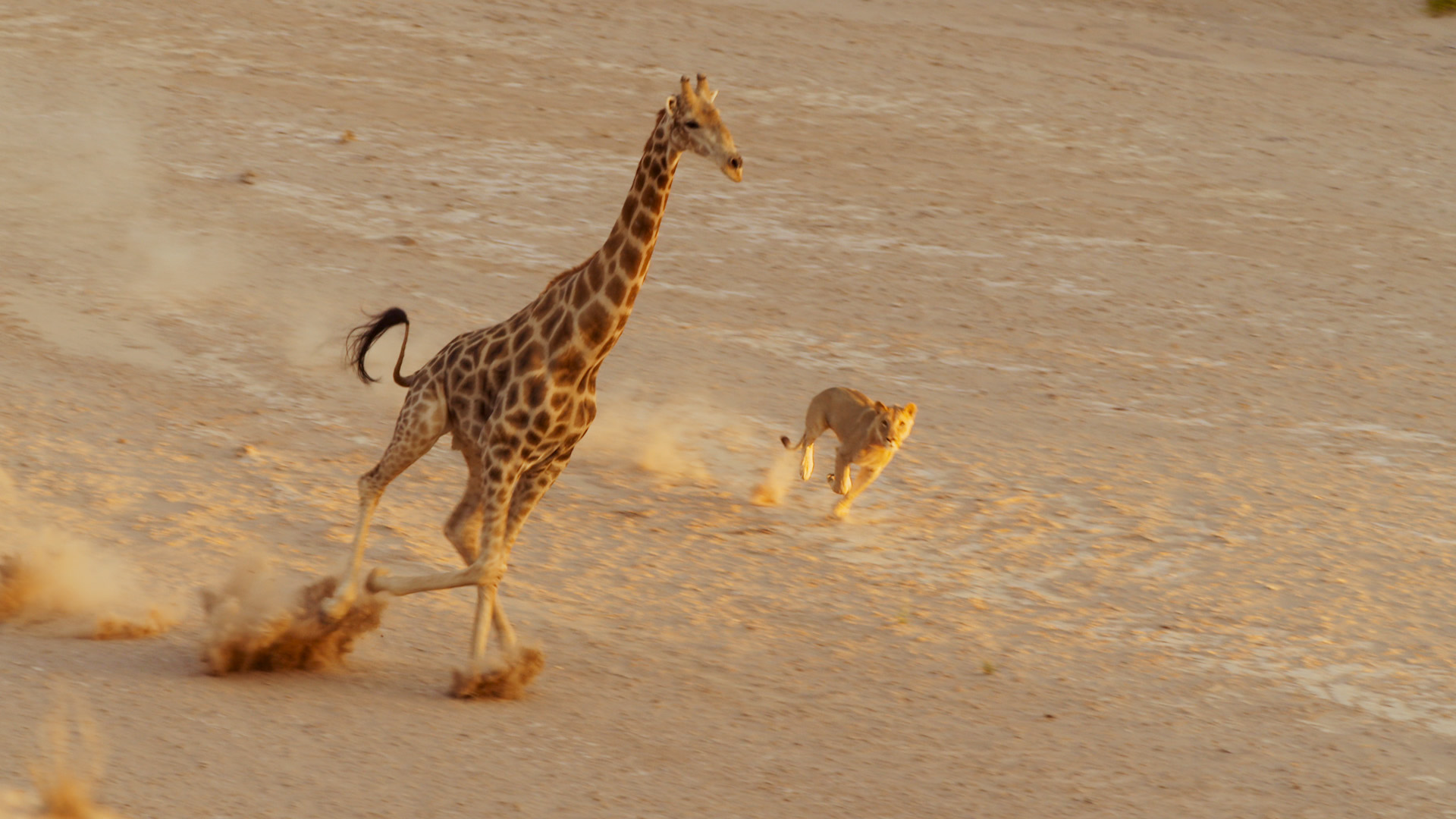 Desert lion and Giraffe | Image credit: Nature Productions)