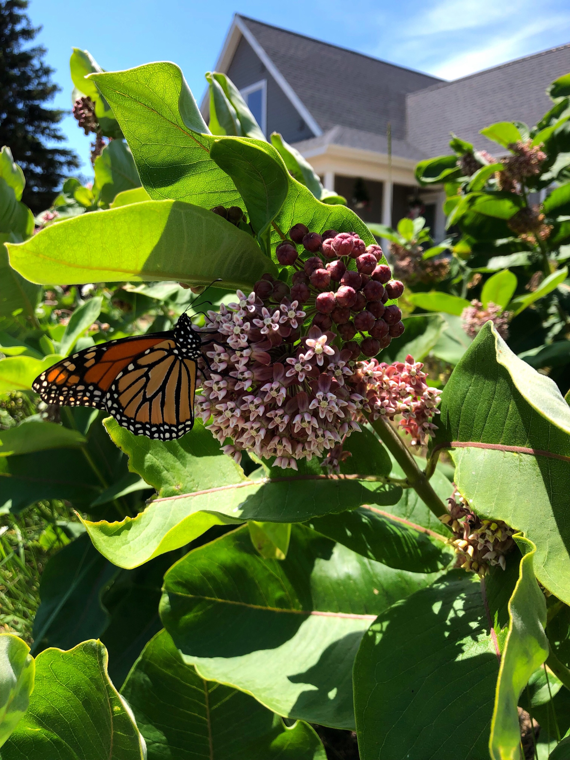My great love of milkweed started in second grade when my second grade teacher brought it from Block Island to school where we watched Monarch butterflies transform!