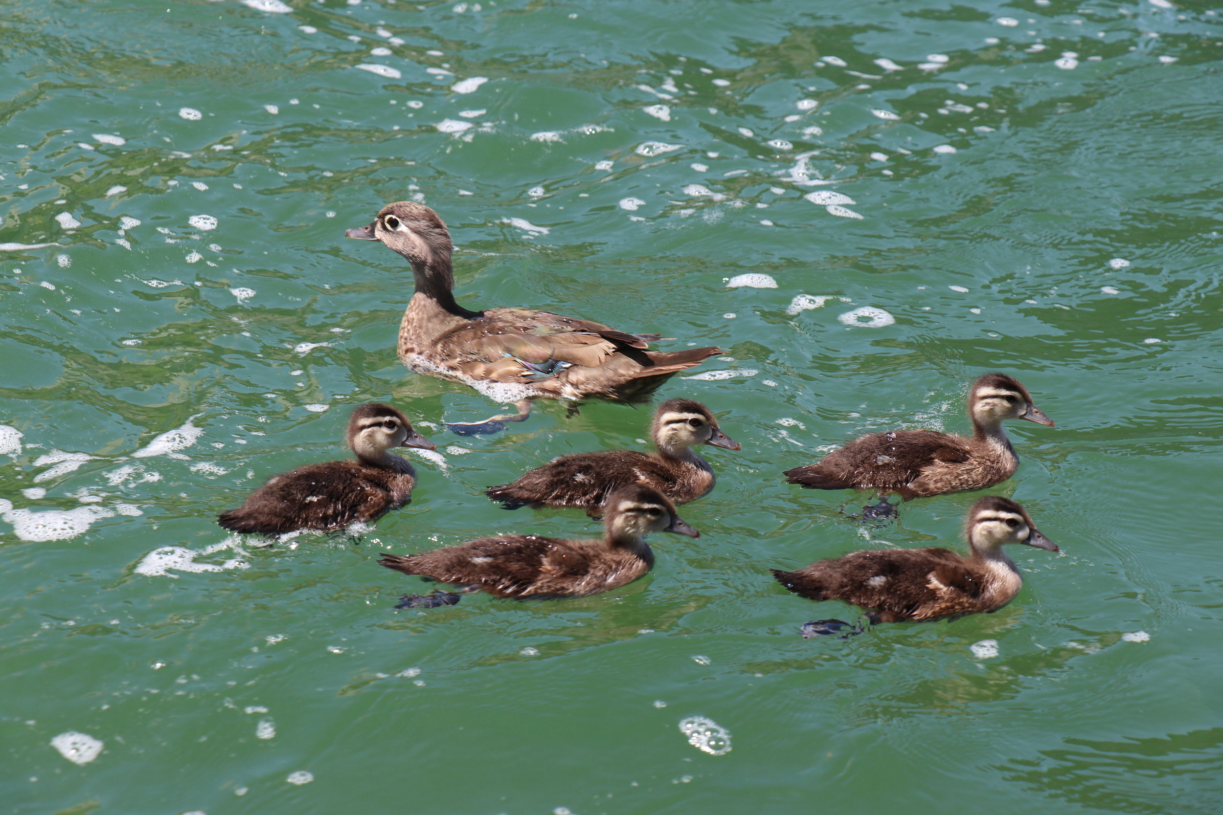 The water was higher than any of us had ever seen. This mama and her babies were paddling against the current for quite a while. We were all relieved to see them make it safely to shore.