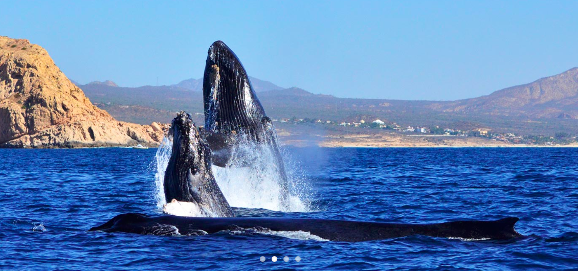 Humpback Whale Watching Season - November through April  Photo Credit: whalewatchcabo.com