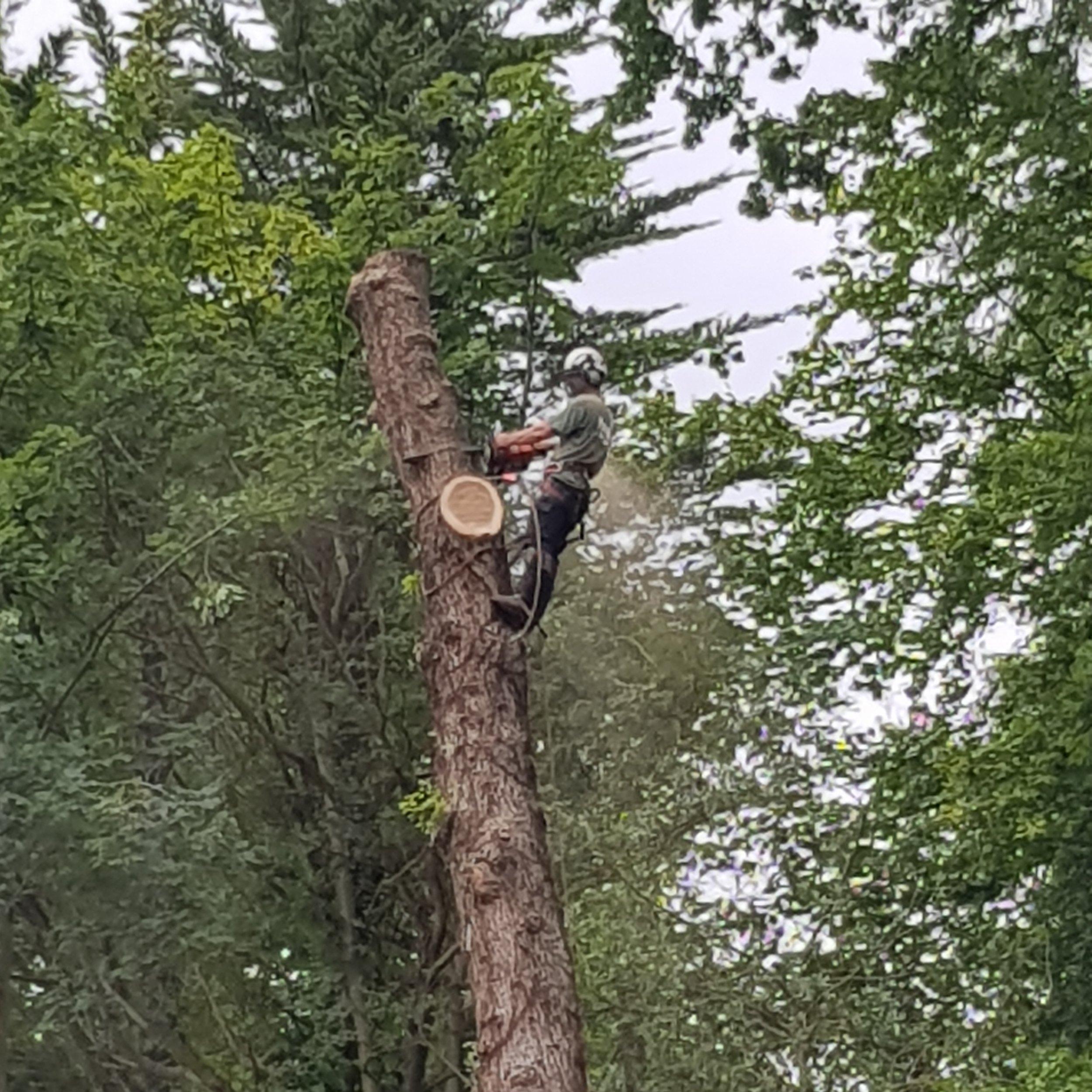 Tree Felling -