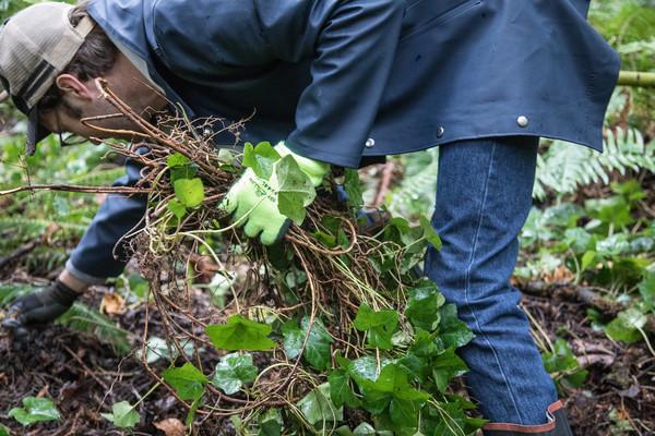 tryon-creek-volunteer-ivy-removal-invasive-species.jpg