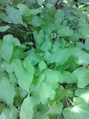tryon-creek-invasive-species-morning-glory.jpg