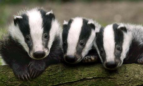 Badger-cubs-in-the-Westco-001.jpg