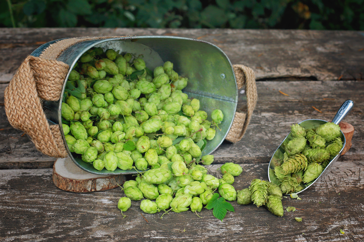 Fresh hops (left) and freeze-dried hops (right).