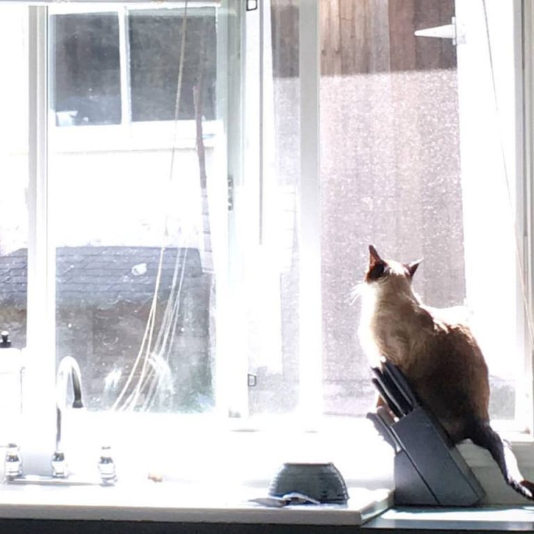 siamese-cat-in-the-kitchen