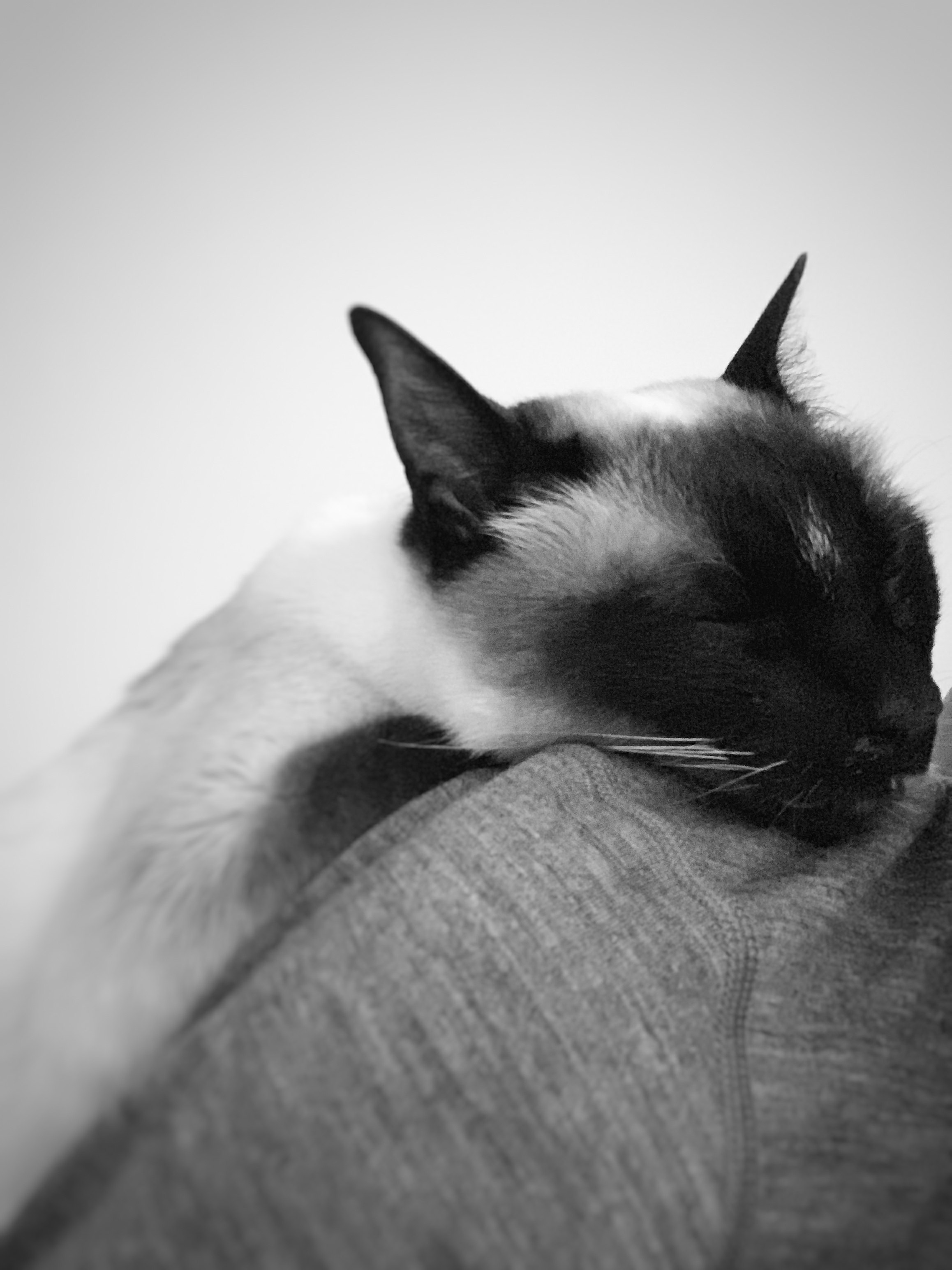 alchemist-eating-siamese-cat-sleeping.jpg