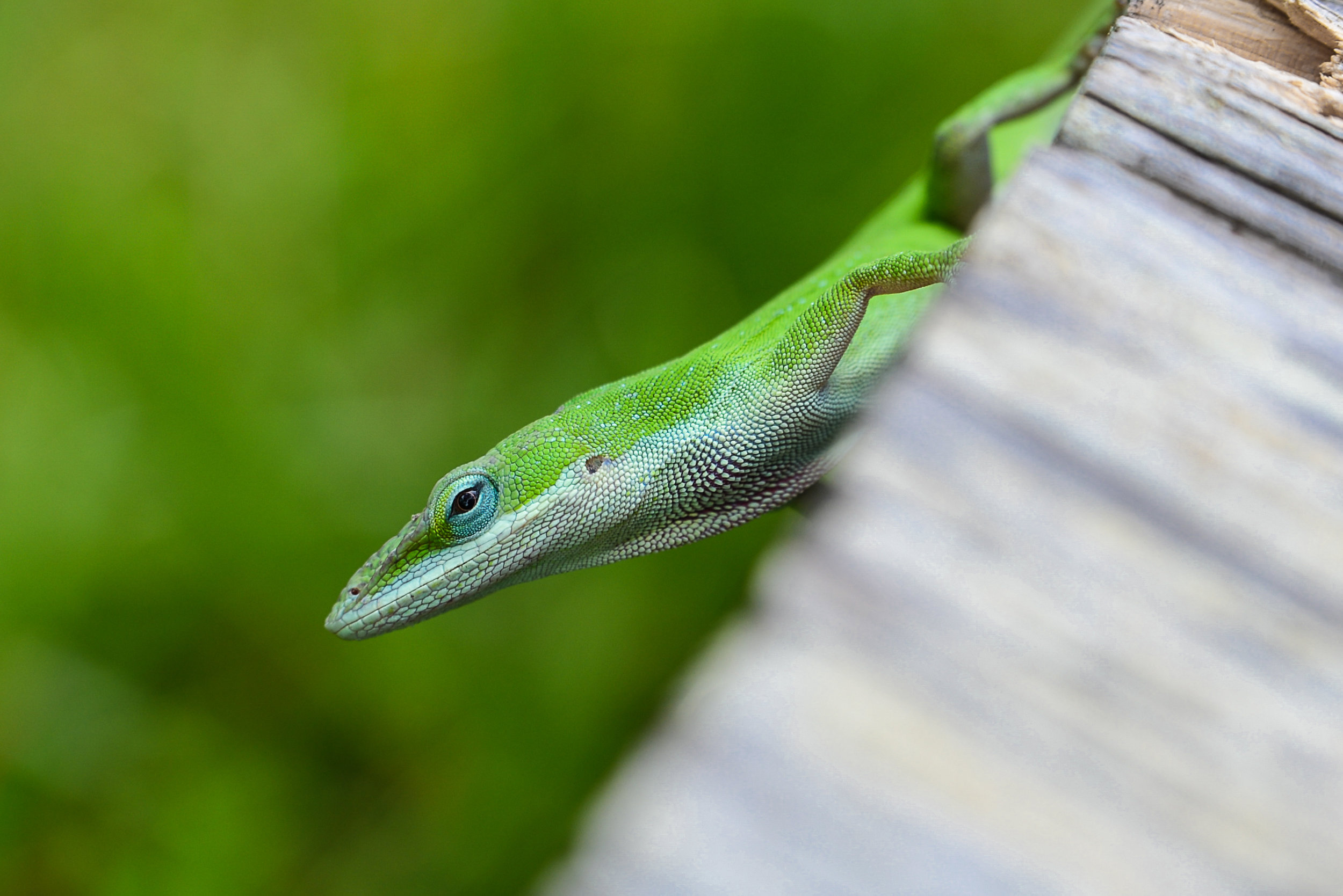 Curious Green Anole