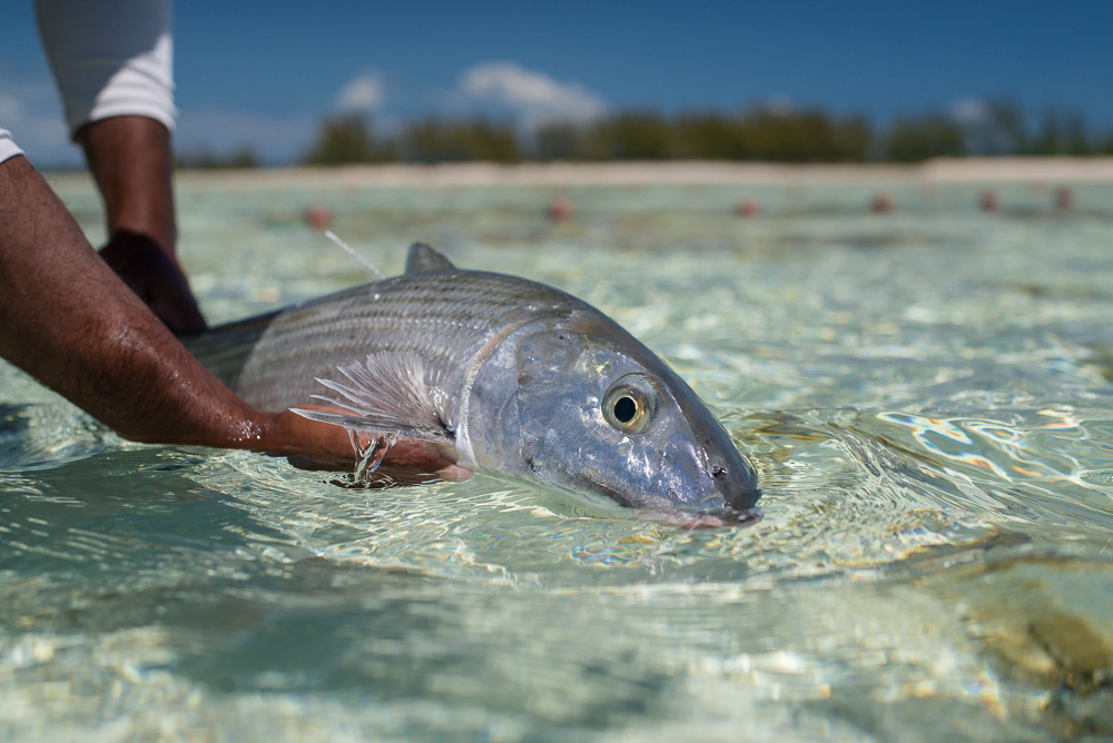Bonefish are found worldwide