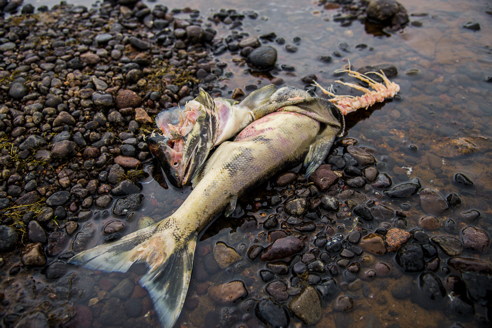 Chum salmon corpse probably left behind by a Brown Bear