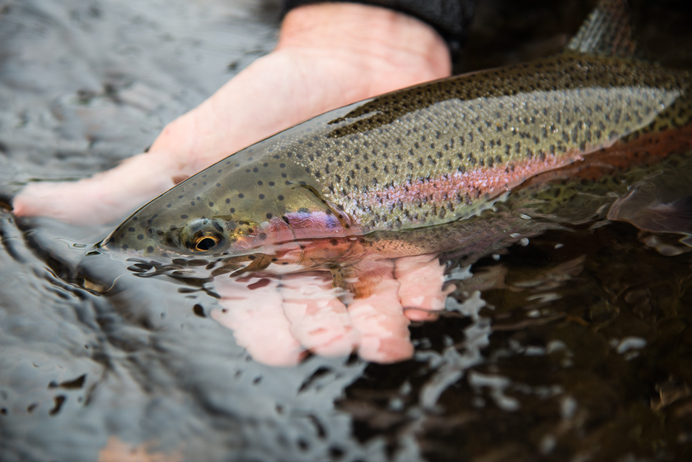Large rainbows will readily feed on egg imitations as they follow salmon up into tributaries to feed on their eggs. Skidding the occasional mice across a riffle often would elicit strikes as well.