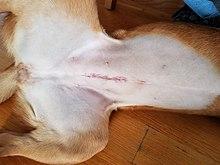 220px-Female_dog_spay_incision.jpg