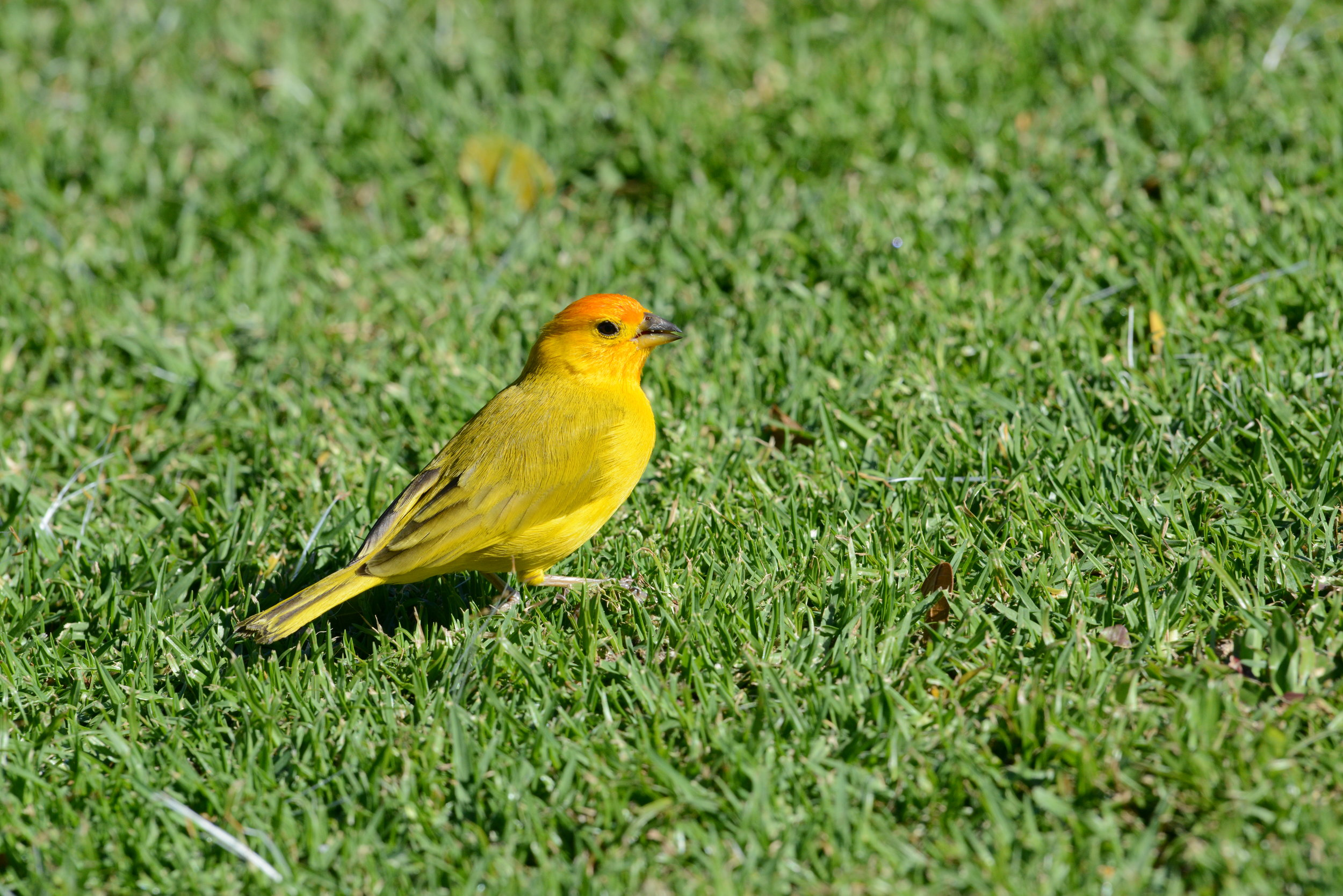 Makani Saffron Finch 1.JPG