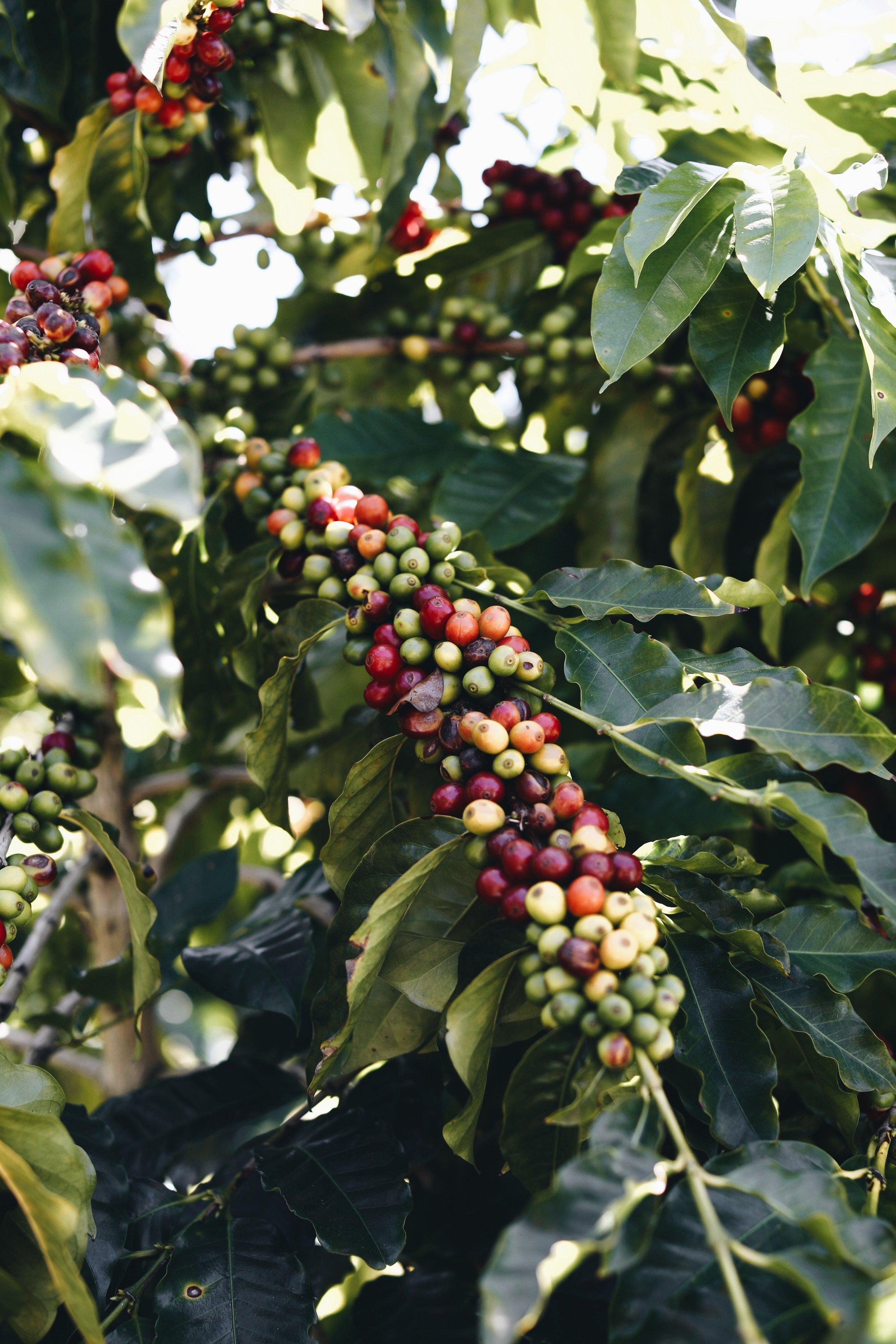 this is a coffee tree, seen at kula beans' farm in maui, hawai'i