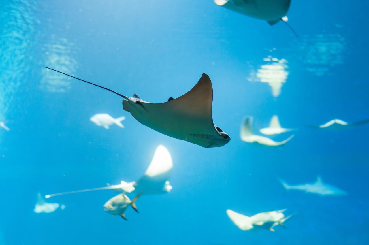 pledge-ray-in-the-ocean.jpg
