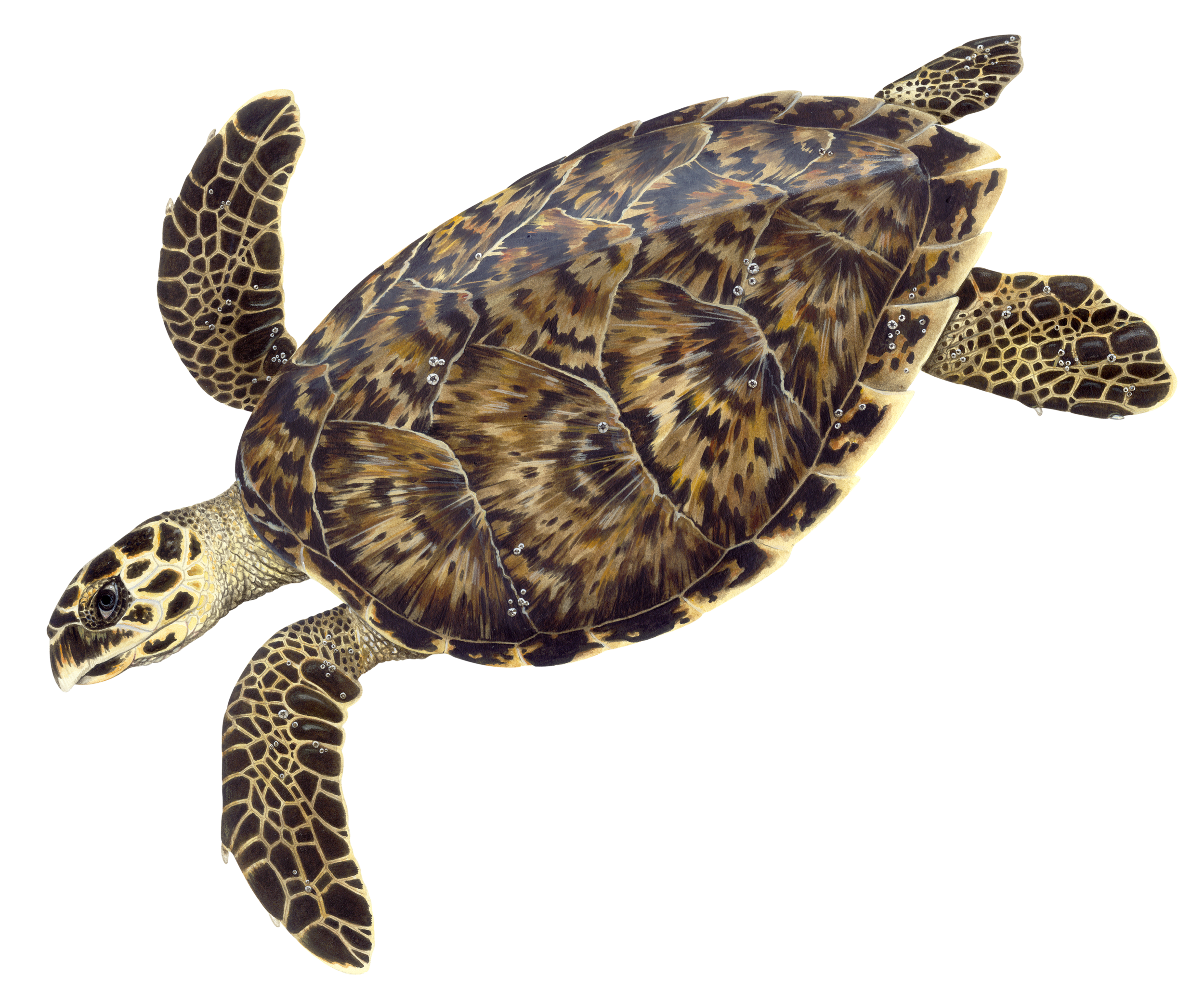Adult Hawksbill Sea Turtle