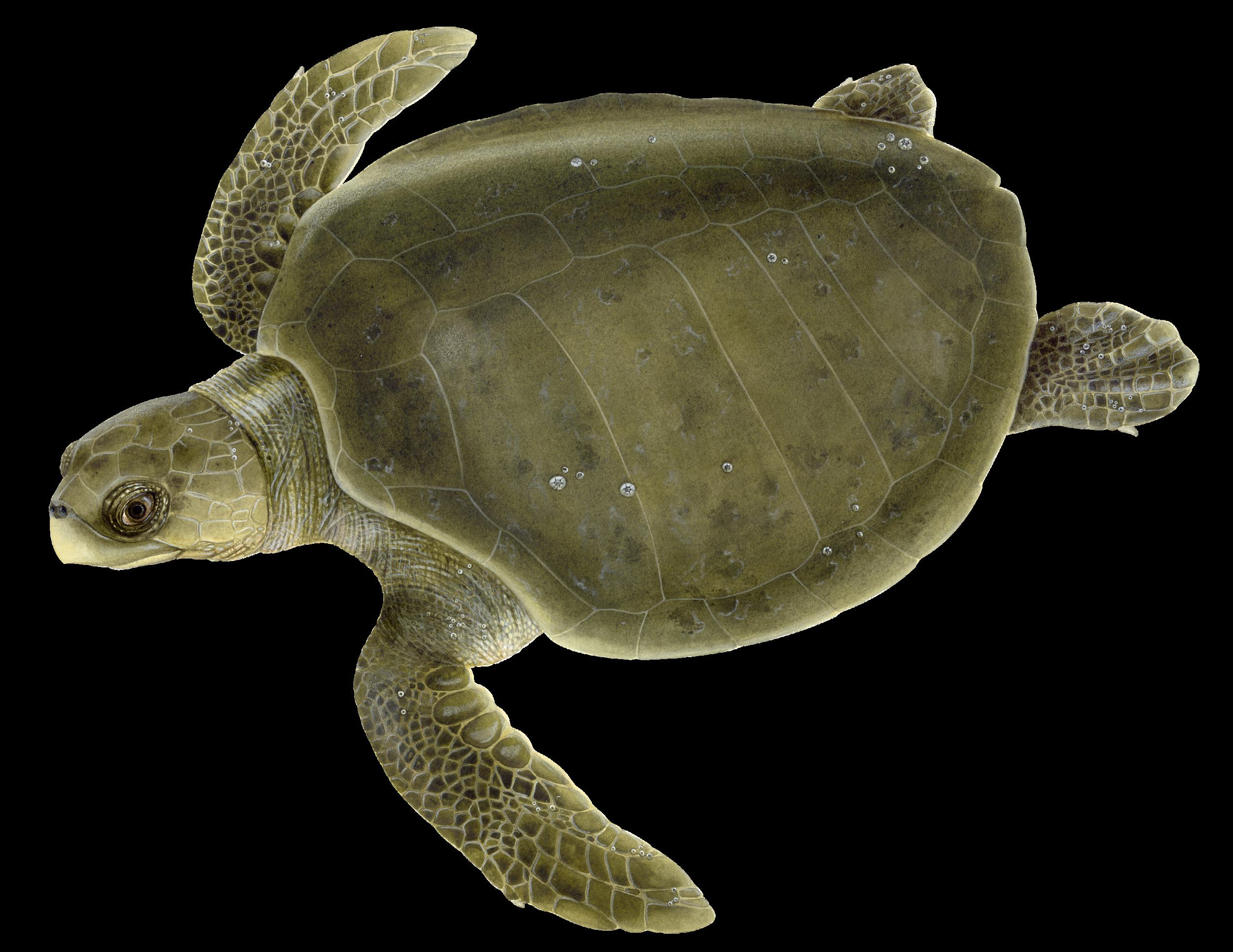 Adult Olive Ridley Sea Turtle