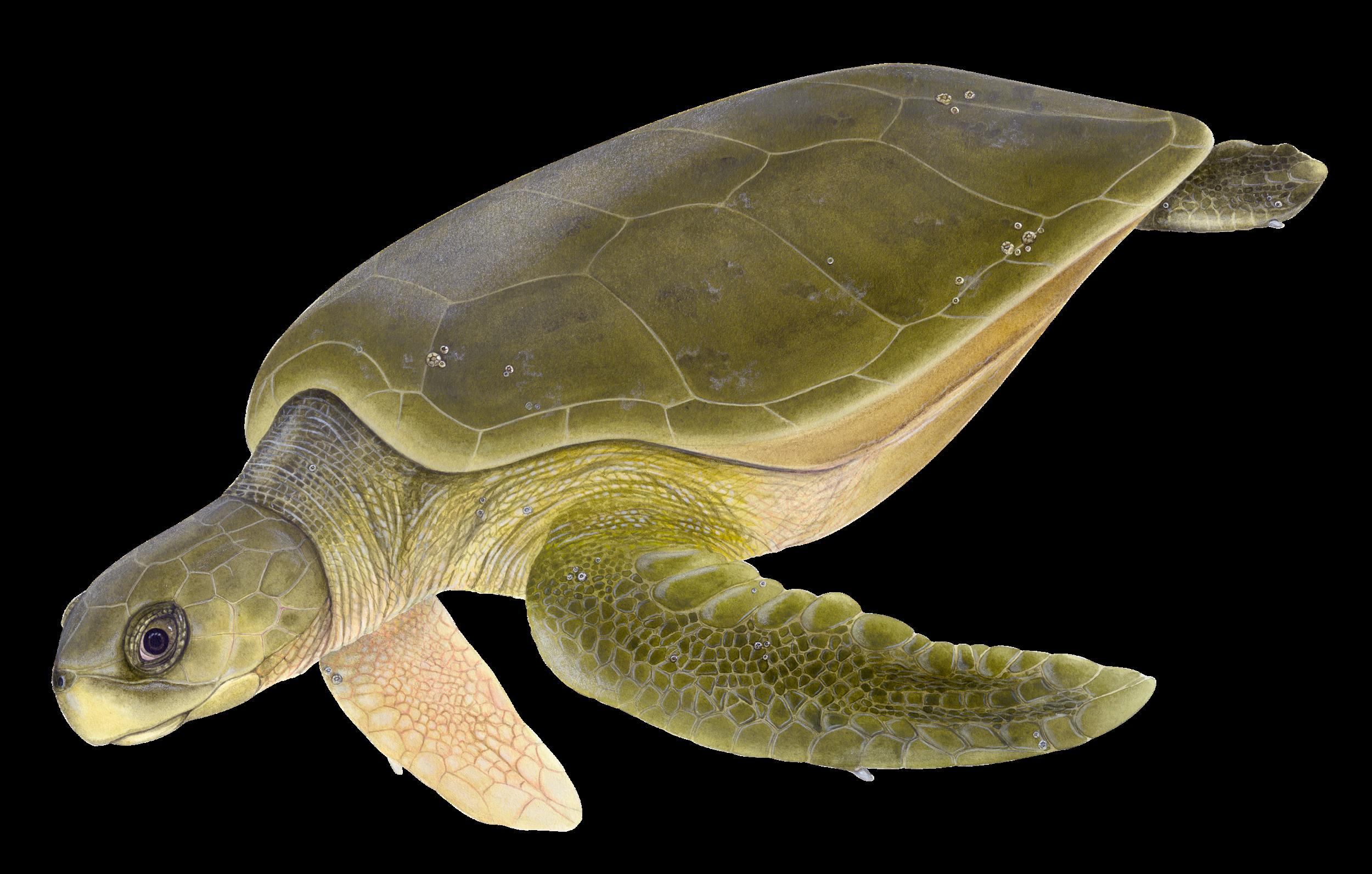 Adult Flatback Sea Turtle